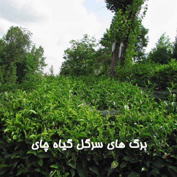 برگ های سرگل گیاه چای