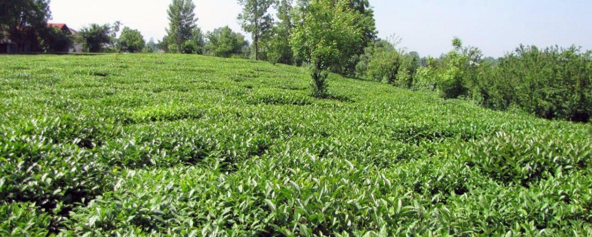 باغ چای